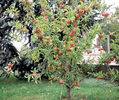Minifruitiers pour petits espaces | 4 saisons n°247 2